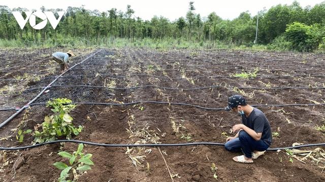 Trồng bắp lấy thân, hướng đi mới cho nông dân ở Bà Rịa - Vũng Tàu  - Ảnh 2.