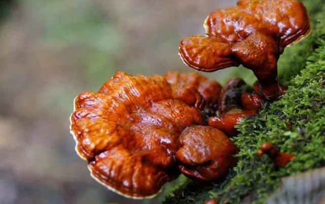 Những loại nấm đắt đỏ được săn lùng ở Việt Nam - Ảnh 5.