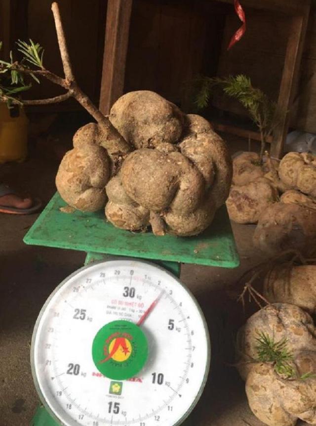 Những loại nấm đắt đỏ được săn lùng ở Việt Nam - Ảnh 6.