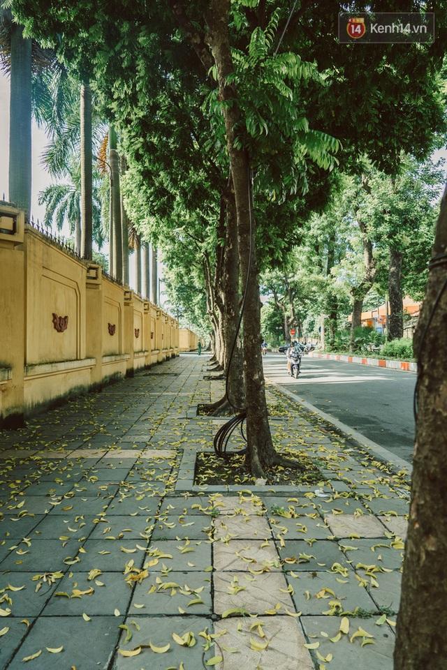 Con đường cây huyền thoại ở Hà Nội lại phủ đầy lá vàng rồi, phải chăng là mùa thu sắp về? - Ảnh 3.