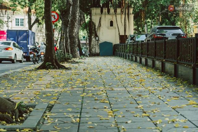 Con đường cây huyền thoại ở Hà Nội lại phủ đầy lá vàng rồi, phải chăng là mùa thu sắp về? - Ảnh 5.