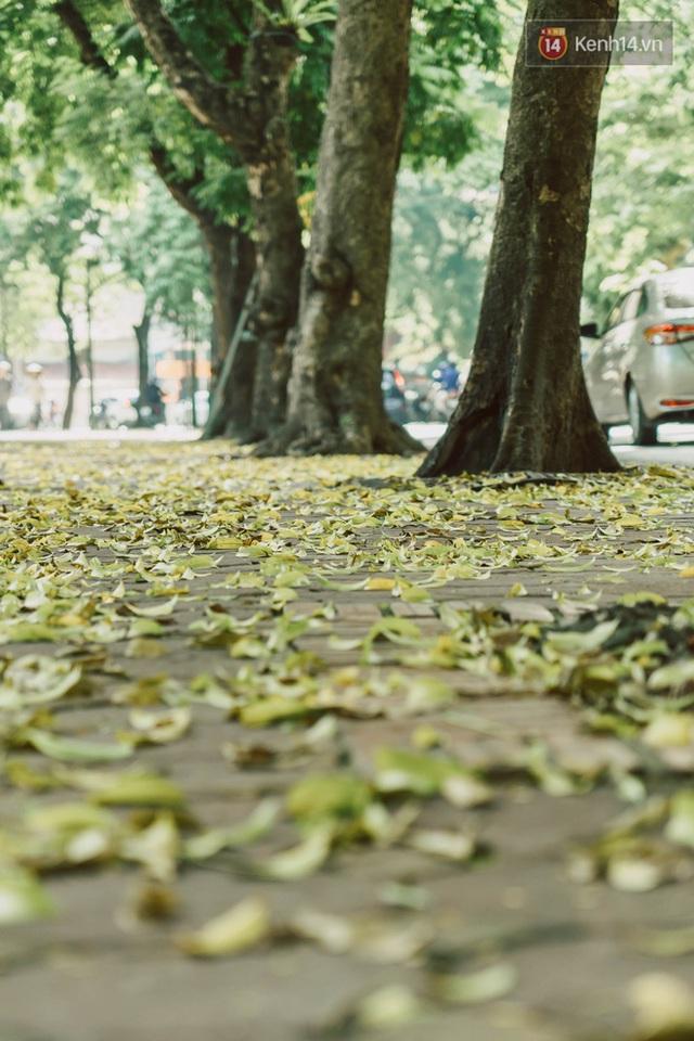 Con đường cây huyền thoại ở Hà Nội lại phủ đầy lá vàng rồi, phải chăng là mùa thu sắp về? - Ảnh 9.