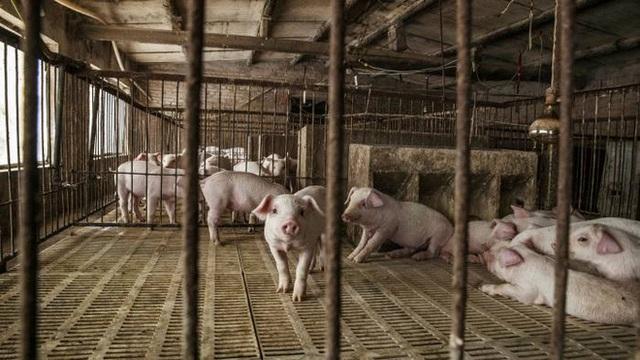 Dự báo kho dự trữ thịt lợn bí mật của Trung Quốc sắp cạn kiệt, chỉ còn trụ được 3 tháng - Ảnh 1.
