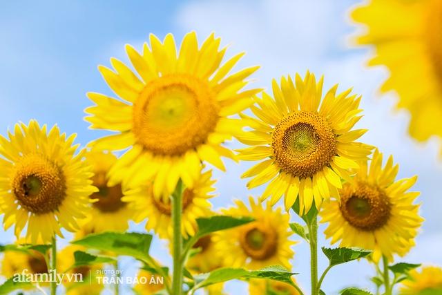 Mới tháng 9, cánh đồng hoa hướng dương và đầm sen ngay trong Sài Gòn đã nở cực rộ đẹp như Tết, tốn có 40.000 đồng được ngắm cả ngày trời! - Ảnh 1.