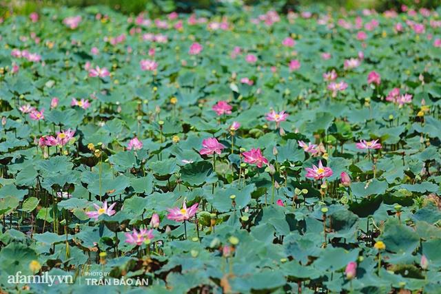 Mới tháng 9, cánh đồng hoa hướng dương và đầm sen ngay trong Sài Gòn đã nở cực rộ đẹp như Tết, tốn có 40.000 đồng được ngắm cả ngày trời! - Ảnh 2.