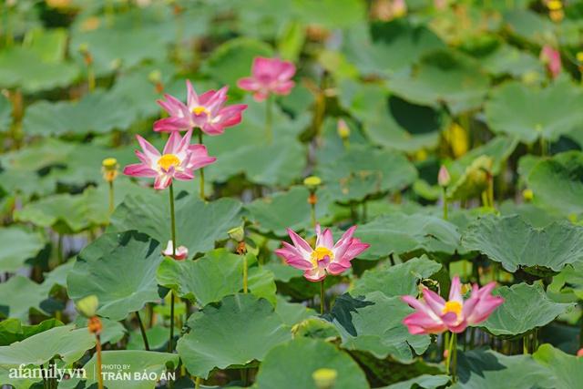Mới tháng 9, cánh đồng hoa hướng dương và đầm sen ngay trong Sài Gòn đã nở cực rộ đẹp như Tết, tốn có 40.000 đồng được ngắm cả ngày trời! - Ảnh 7.
