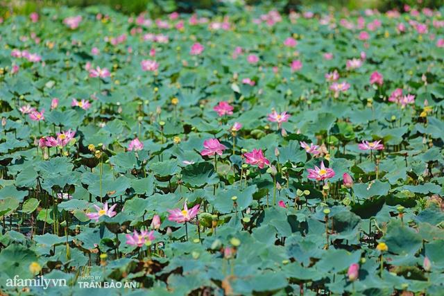 Mới tháng 9, cánh đồng hoa hướng dương và đầm sen ngay trong Sài Gòn đã nở cực rộ đẹp như Tết, tốn có 40.000 đồng được ngắm cả ngày trời! - Ảnh 8.