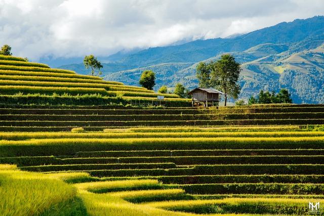 Thu năm nay nhất định phải lên Mù Cang Chải ngắm lúa chín vàng ươm trên những thửa ruộng bậc thang: Đẹp đến ngây ngất lòng người! - Ảnh 9.