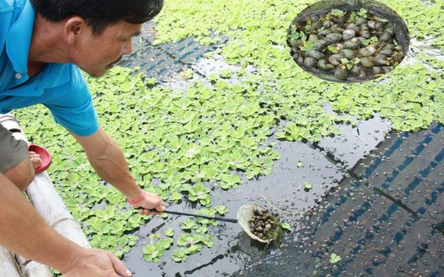 Nhiều nông dân thành tỷ phú nhờ nuôi…ruồi, ốc, ba ba, cá đặc sản  - Ảnh 5.