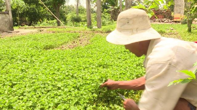 Trồng rau má quanh nhà, mỗi năm thu nhập hàng trăm triệu đồng  - Ảnh 1.