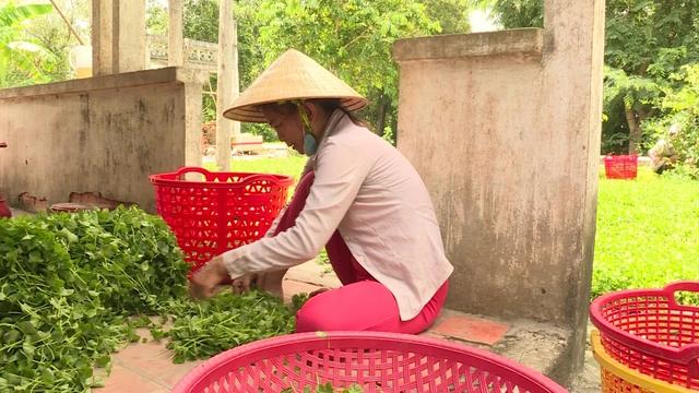 Trồng rau má quanh nhà, mỗi năm thu nhập hàng trăm triệu đồng  - Ảnh 2.