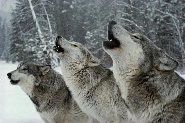 Người thành công phải tư duy như sói đầu đàn: Không chỉ độc ác với người khác, mà phải độc ác với chính mình - Ảnh 2.