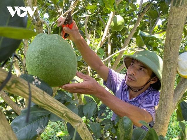 Trồng bưởi da xanh tiêu chuẩn Vietgap, nông dân Đắk Lắk thu tiền tỷ mỗi năm - Ảnh 2.