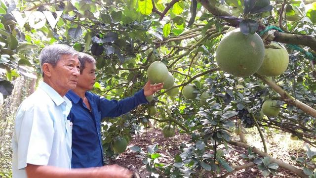 """Nhà vườn Tiền Giang """"méo mặt"""" vì nhiều loại trái cây rớt giá - Ảnh 1."""