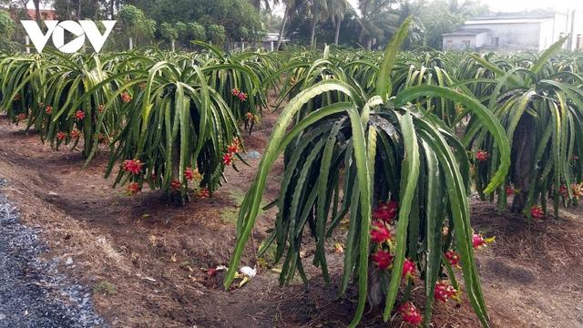 """Nhà vườn Tiền Giang """"méo mặt"""" vì nhiều loại trái cây rớt giá - Ảnh 2."""