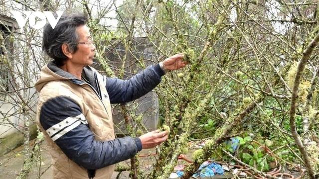 Lào Cai không dán tem truy xuất nguồn gốc cây đào - Ảnh 2.