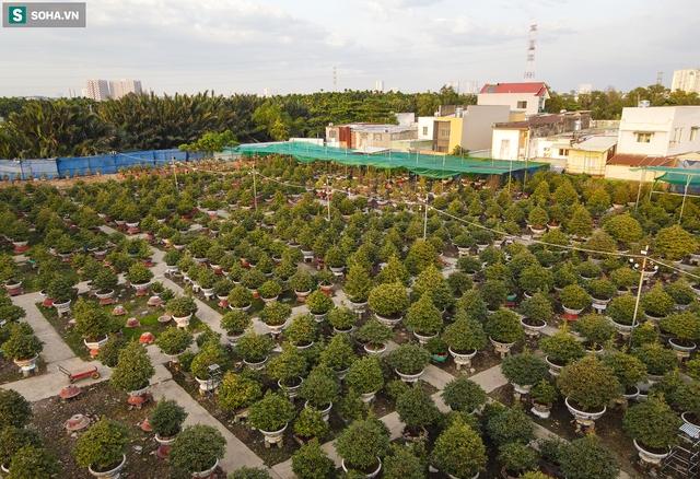 [Ảnh] Hàng nghìn cây mai nở sớm trước Tết cả tháng, chủ vườn mất trắng 15 tỷ đồng - Ảnh 1.