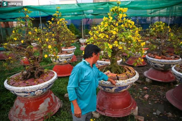 [Ảnh] Hàng nghìn cây mai nở sớm trước Tết cả tháng, chủ vườn mất trắng 15 tỷ đồng - Ảnh 2.