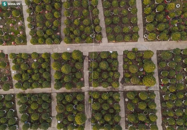 [Ảnh] Hàng nghìn cây mai nở sớm trước Tết cả tháng, chủ vườn mất trắng 15 tỷ đồng - Ảnh 12.