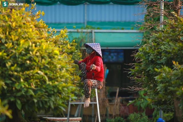 [Ảnh] Hàng nghìn cây mai nở sớm trước Tết cả tháng, chủ vườn mất trắng 15 tỷ đồng - Ảnh 15.