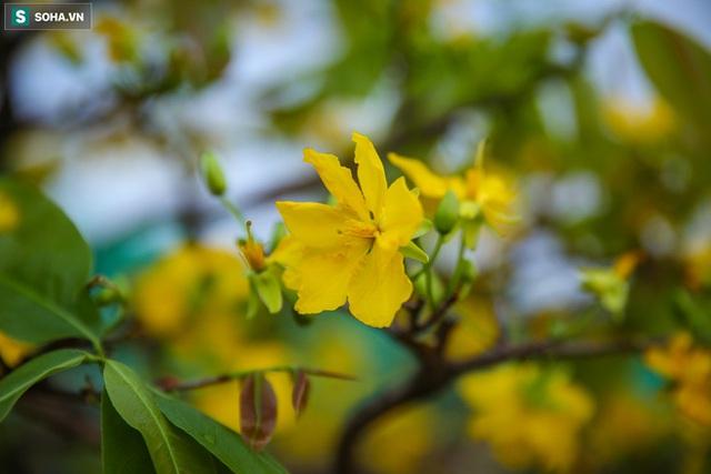 [Ảnh] Hàng nghìn cây mai nở sớm trước Tết cả tháng, chủ vườn mất trắng 15 tỷ đồng - Ảnh 4.
