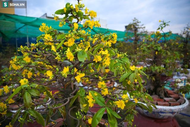 [Ảnh] Hàng nghìn cây mai nở sớm trước Tết cả tháng, chủ vườn mất trắng 15 tỷ đồng - Ảnh 5.
