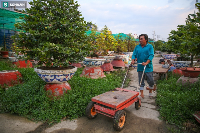 [Ảnh] Hàng nghìn cây mai nở sớm trước Tết cả tháng, chủ vườn mất trắng 15 tỷ đồng - Ảnh 9.