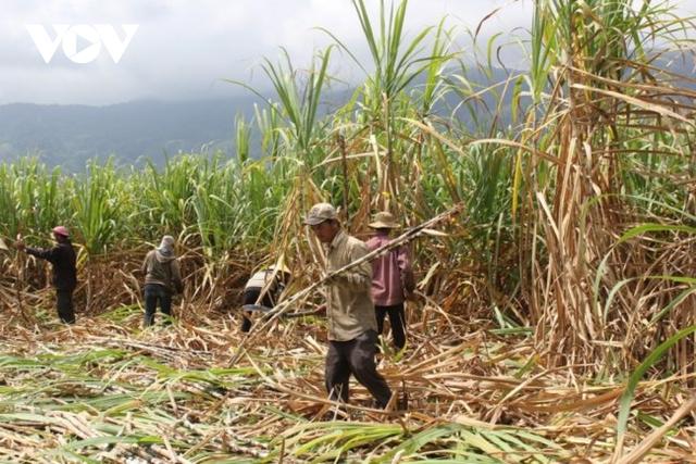 Giá mía nguyên liệu tăng cao, nông dân Đăk Lăk phấn khởi vì đã bắt đầu có lãi - Ảnh 1.