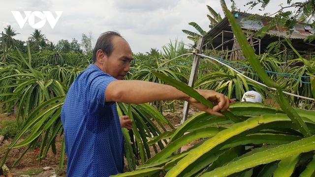 """Thanh long rớt giá, nông dân Bình Thuận, Long An lo """"mất"""" Tết - Ảnh 2."""