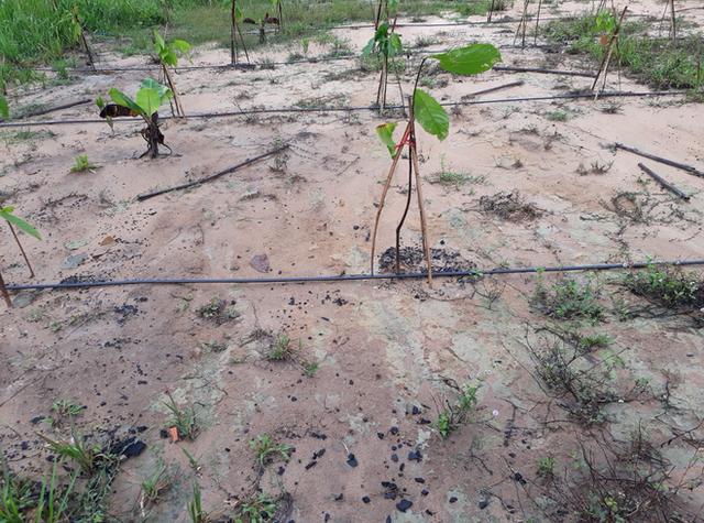 Tiến sĩ về làm nông dân: Hồi sinh đồi đá trơ trọi nhờ cỏ dại, trồng cacao không hoá chất tạo dòng socola đắt nhất Việt Nam - Ảnh 3.