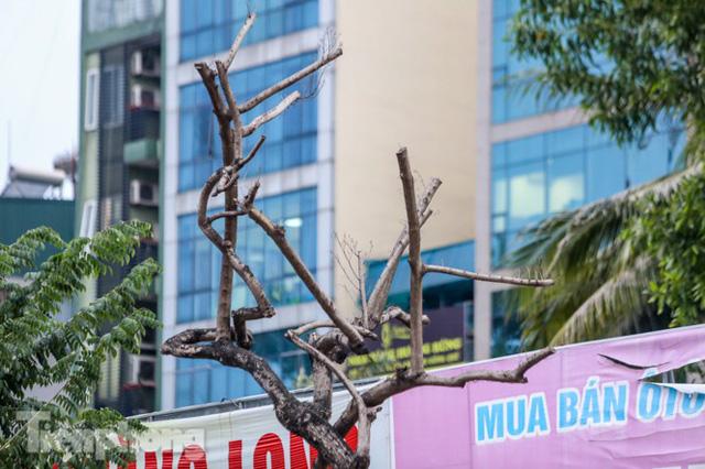 Hàng cây sưa trăm tỷ chết khô trên phố Hà Nội sẽ xử lý thế nào? - Ảnh 3.