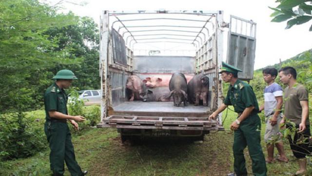 Phối hợp chỉ đạo tăng cường kiểm soát vận chuyển lợn, sản phẩm từ lợn qua biên giới - Ảnh 1.