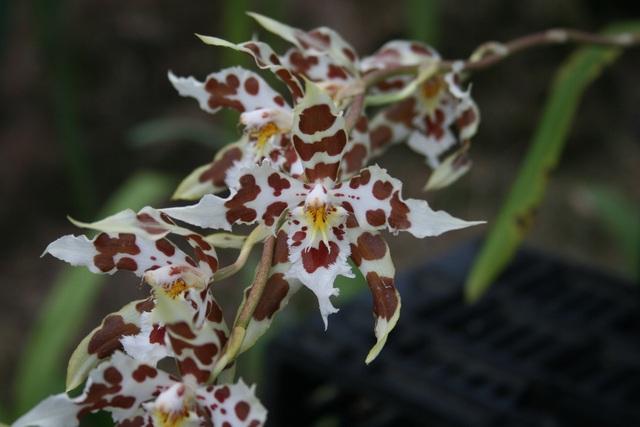 8 loại hoa lan đắt tiền nhất trên thế giới, có cây lên tới hơn 4 tỷ đồng - Ảnh 5.