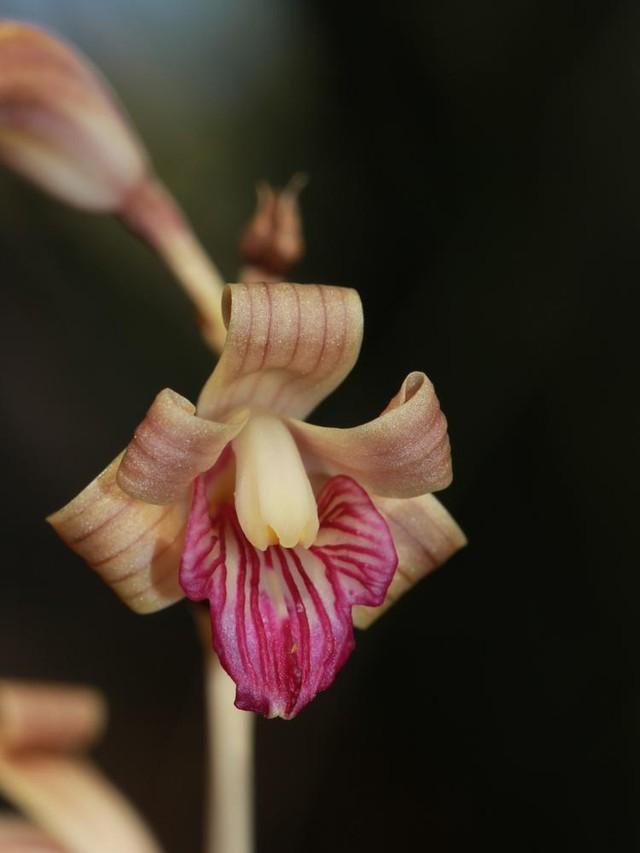 8 loại hoa lan đắt tiền nhất trên thế giới, có cây lên tới hơn 4 tỷ đồng - Ảnh 9.
