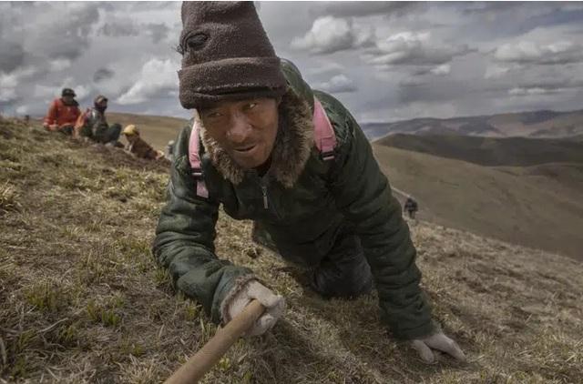 Đông trùng hạ thảo thật đã trốn lên cao thêm 500m, ngay tại Tây Tạng: Sự thật đáng buồn! - Ảnh 1.