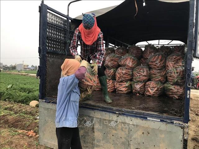 Bội thu tại vùng sản xuất chuyên canh cà rốt - Ảnh 2.