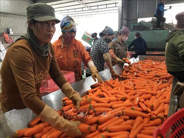 Bội thu tại vùng sản xuất chuyên canh cà rốt - Ảnh 3.