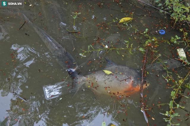 Nước sông Tô Lịch bỗng chuyển màu xanh ngắt hiếm thấy, người dân hân hoan bắt hàng tạ cá - Ảnh 4.