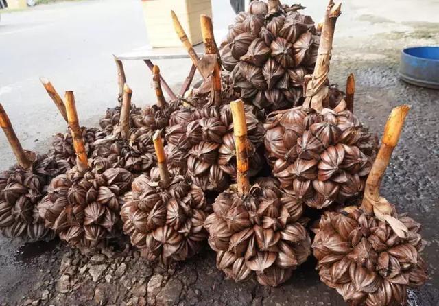 Loại quả mọc đầy ở Việt Nam nhưng lại là thực vật cấp quốc gia của Trung Quốc, được bảo tồn vì sắp... tuyệt chủng? - Ảnh 6.