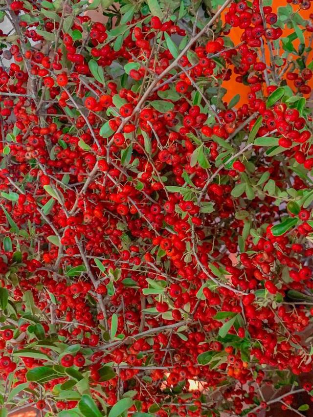 Rộ cơn sốt cắm cành cherry rừng, giá chỉ 120k/bó, hàng về đến đâu hết đến đó - Ảnh 1.