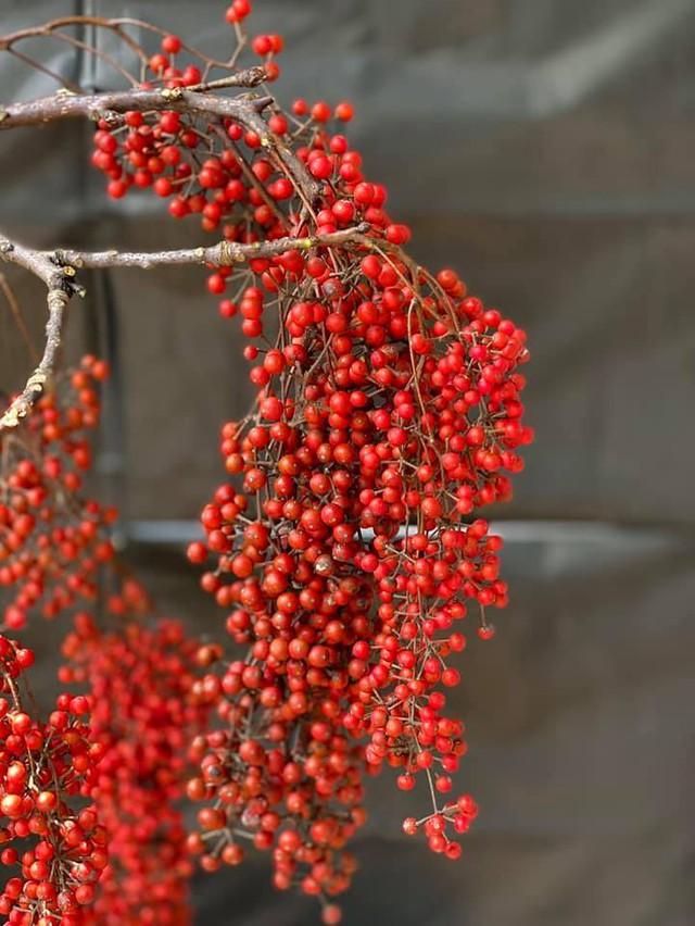 Cành quả đỏ rực, căng mọng, trĩu trịt có tên kỳ diệu, ai ai nhìn cũng mê - Ảnh 1.