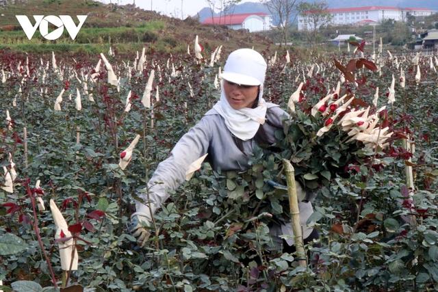 Mỗi hecta cho doanh thu tiền tỷ, người trồng hoa San Thàng vui đón Tết  - Ảnh 1.