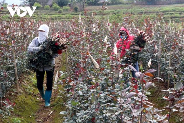 Mỗi hecta cho doanh thu tiền tỷ, người trồng hoa San Thàng vui đón Tết  - Ảnh 2.