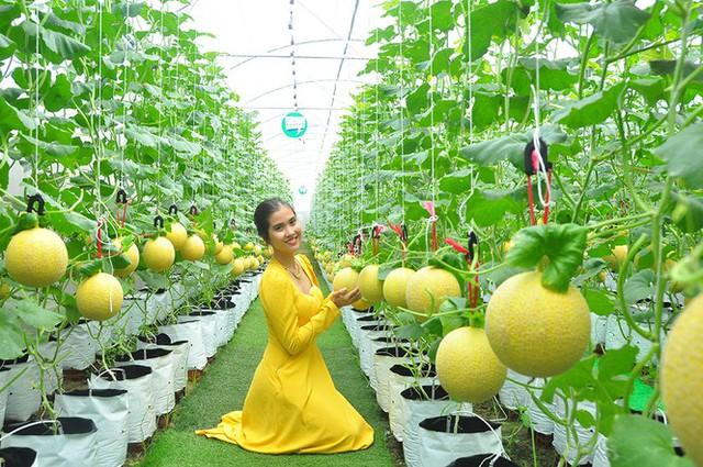 Vườn dưa lưới của chàng thạc sĩ nông nghiệp thu hút đông bạn trẻ check-in dịp Tết - Ảnh 1.