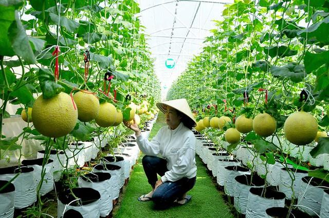 Vườn dưa lưới của chàng thạc sĩ nông nghiệp thu hút đông bạn trẻ check-in dịp Tết - Ảnh 6.