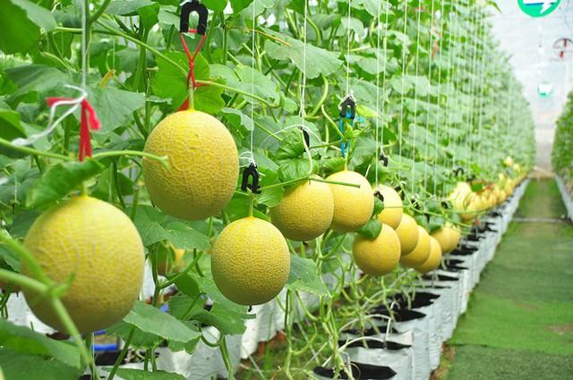 Vườn dưa lưới của chàng thạc sĩ nông nghiệp thu hút đông bạn trẻ check-in dịp Tết - Ảnh 10.