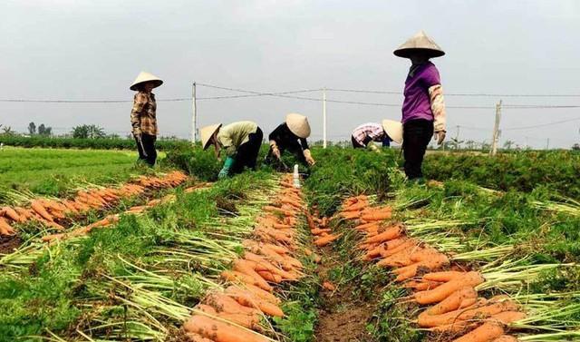 """""""Thủ phủ"""" cà rốt Cẩm Giàng còn hơn 20.000 tấn đang đến kỳ thu hoạch - Ảnh 1."""