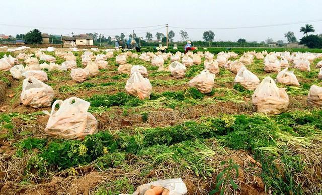 """""""Thủ phủ"""" cà rốt Cẩm Giàng còn hơn 20.000 tấn đang đến kỳ thu hoạch - Ảnh 2."""