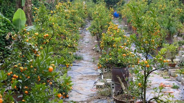 Nỗi đau sau Tết: Cây cảnh ế đầy vườn, nông dân ôm nợ - Ảnh 3.