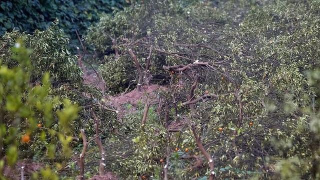 Nỗi đau sau Tết: Cây cảnh ế đầy vườn, nông dân ôm nợ - Ảnh 5.